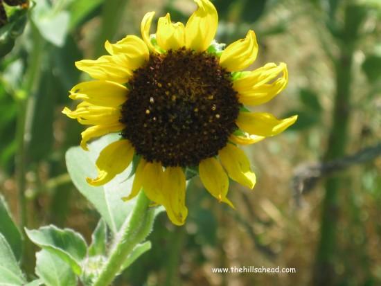 Badlands NP sunflower