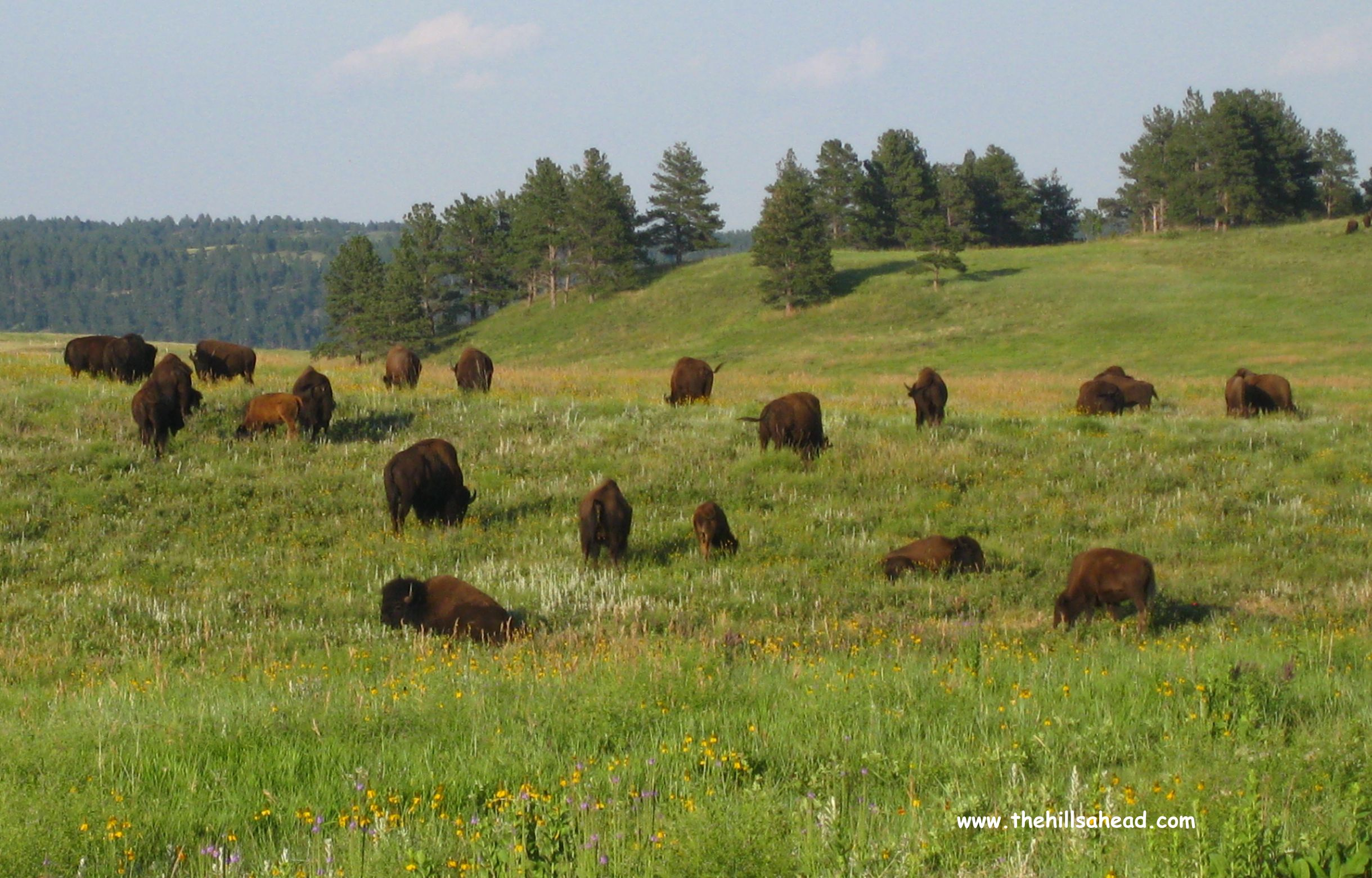 Used Cars Buffalo >> Driving the Wildlife Loop Road in Custer State Park