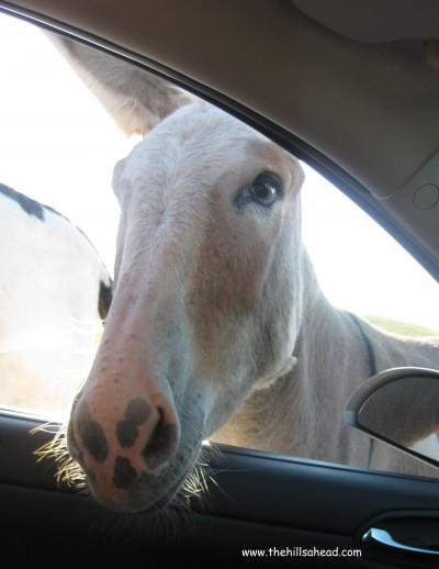 CSP Mule in car window