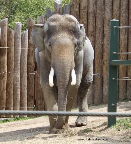 Cincinatti Zoo elephant