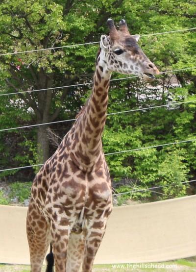 Cincinatti Zoo giraffe