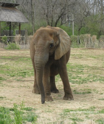 Nashville  Zoo elephant single